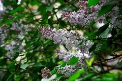 Sunlit white and purple flowers of hybrid lilac among green leaves. Nature and its charm. Daylight stock photos