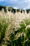 Sunlit Wild Grass. Wild grass in the summer sun on a warm day giving rise to hope for a better tomorrow Royalty Free Stock Image