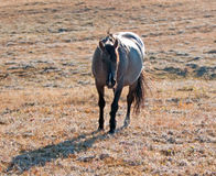 Sunlit Wild Horse Grulla Gray colored Mare walking up  Sykes Ridge above Teacup Bowl in the Pryor Mountains in Montana – Wyoming Royalty Free Stock Photography