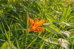 Sunlit Wild Orange Lilly Royalty Free Stock Photo