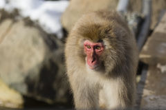 Sunlit Wild Snow Monkey stock photos