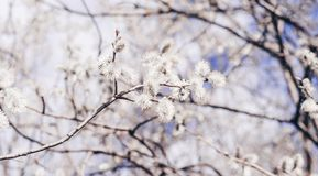 Sunlit willow branches in bloom on blue sky and white clouds background. stock images