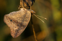 A sunlit wood satyr butterfly Royalty Free Stock Images