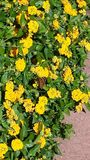 Sunlit yellow flowers and a butterfly Stock Photo