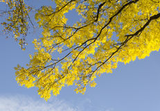 Sunlit yellow leaves Royalty Free Stock Photos