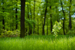 Sunlit young rowan tree in the lush green forest. With low grass in spring Stock Photography