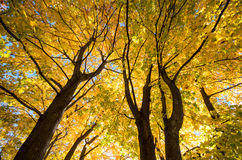 Sunlite Fall foliage Royalty Free Stock Photography