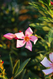 Sunlited-Rosa Nerium Lizenzfreies Stockbild