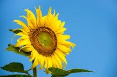 Sunlower Zdjęcie Stock