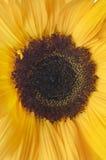 Sunlower giallo su bianco Fotografie Stock Libere da Diritti