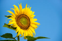 Sunlower. Single sunflower with sky in the background Stock Photo