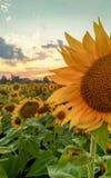Sunlowers op het gebied De bloemen van de zomer stock afbeelding
