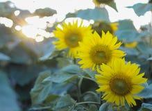 Sunlowers op het gebied De bloemen van de zomer royalty-vrije stock afbeeldingen