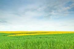Sunn-Hanf-Feld mit blauem bewölktem Himmel Stockfotos