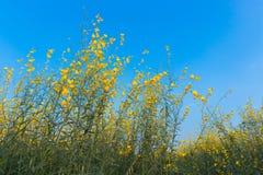 Sunn hemp field (Crotalaria juncea) Royalty Free Stock Photography