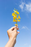Sunn hemp flowers on hand Stock Photos