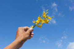 Sunn hemp flowers on hand Royalty Free Stock Image