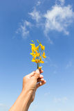 Sunn hemp flowers on hand Royalty Free Stock Photos