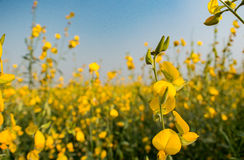 Sunn hemp, Indian hemp. Yellow flowers meadow Stock Photo