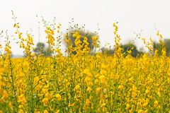 Sunn hemp or Pummelo scientific name: Crotalaria juncea. Yellow flowers bloom in the fields of background blur Stock Images