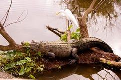 Sunning aligatora Obrazy Royalty Free