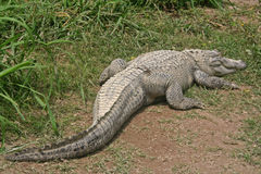 Sunning alligator. Florida alligator lying in the grass under the sun Stock Photo