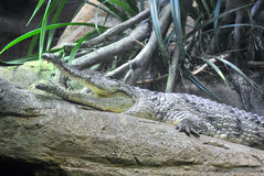 Sunning Alligator Royalty Free Stock Photos