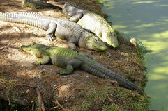 Sunning alligators Stock Photography