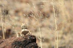 Sunning av geckon Arkivfoton