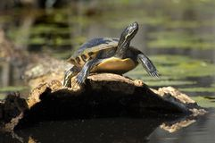sunning av sköldpaddan Royaltyfri Fotografi