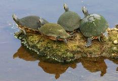 sunning av sköldpaddor Royaltyfri Bild