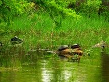 Sunning av sköldpaddor arkivbilder