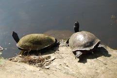 Sunning av sköldpaddor på en vagga Arkivfoto