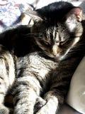 Sunning Cat. Tiger cat resting in sunlight Stock Image
