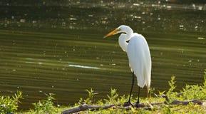 Sunning Egret Stock Image