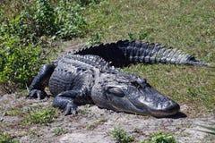 sunning för alligator Arkivbilder