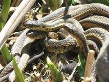 Sunning för Gardner ormar Arkivfoton