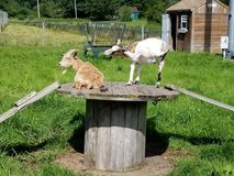Sunning Goats at the Farm. RnThree kids relaxing in the summer sun royalty free stock photography