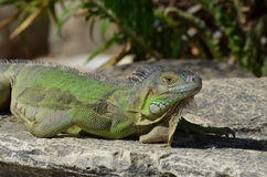Sunning Green Iguana on a Rock Ledge Royalty Free Stock Images