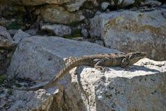 Sunning Iguana Royalty Free Stock Photo