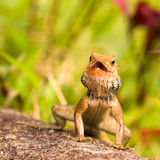 Sunning Lizard Royalty Free Stock Photo