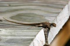 Sunning Lizard Royalty Free Stock Photos