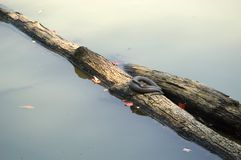Sunning on a log Royalty Free Stock Photo