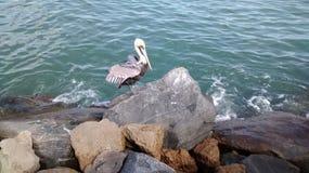 Sunning pelikana Zdjęcia Royalty Free
