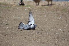 Sunning pigeon Stock Photography