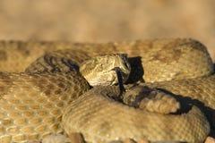 Sunning Rattlesnake. Rattlesnake close up (focus on the head royalty free stock photography