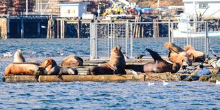 Sunning Sea Lions. Royalty Free Stock Photography