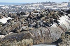 Sunning seals Stock Photo
