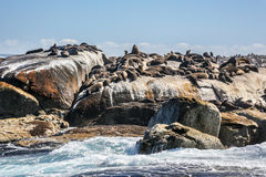 Sunning seals Royalty Free Stock Images
