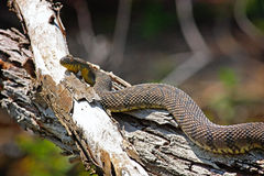 Sunning Snake Royalty Free Stock Photo